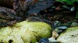 Gastromyzon ctenocephalus (punctulatus)?
