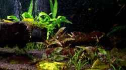 Flusssteine mit Algenbewuchs für die Flossensauger