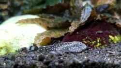 Gastromyzon punctatus / ctenocephalus (?)