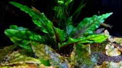 Cryptocoryne wendtii `green`