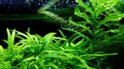 Pflanzen im Aquarium Riverdream
