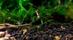 Besatz im Aquarium Kleine Brillanten auf sechs Beinen