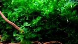 Nachwuchstiere grasen den `Süßwassertang` nach Fressbarem ab