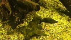 Wabenschilderwels - Glyptoperichthys gibbiceps / L83