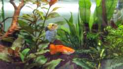 Guppy Orange und Blau