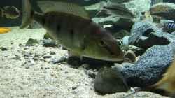 Boulengerochromis