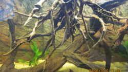 Wurzeln,Amazonasschwertpflanze