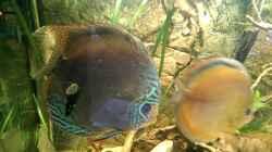 Der Bock im Vordergrund,rechts das Weibchen,an der Frontscheibe eine Cappuccinoschnecke