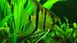 Rio Negro Weibchen
