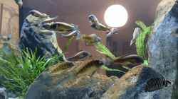 Besatz im Aquarium Tropheus Pfütze (nur noch als Beispiel)