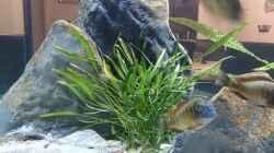 Pflanzen im Aquarium Tropheus Pfütze (nur noch als Beispiel)
