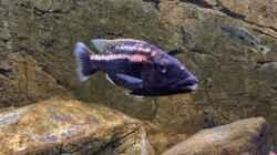 Tyrannochromis Maculiceps von Mbenji