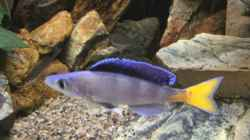 Cyprichromis Leptosoma blue flash Isanga