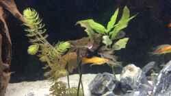Besatz im Aquarium Mittelamerika