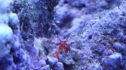 Kleiner Seestern ca 1cm