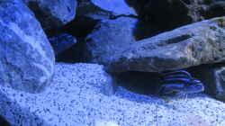 Besatz im Aquarium Mbuna Tempel