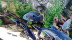 Besatz im Aquarium Gesellschaftsbecken Süd-Mittelamerika