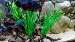 Pflanzen im Aquarium Gesellschaftsbecken Süd-Mittelamerika