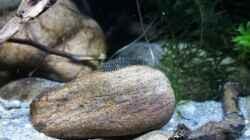 Besatz im Aquarium Es muss nicht immer Tanganjika sein.