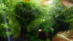 Besatz im Aquarium Fluval F60