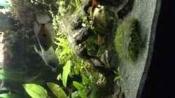 Fadenfischpärchen