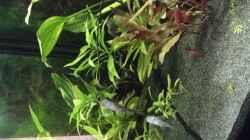 Die kleinen sind auch schon gut dabei :) (Garra ceylonensis )