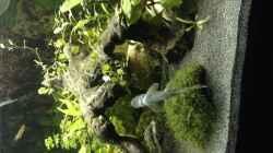 Ceylonsaugbarbe küsst Scheibe ;)