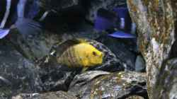 Altolamprologus compressiceps Gold Head `Mutondwe` WF