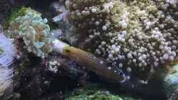 Lieblingsfisch Rainfords Grundel =)
