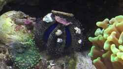 Der Kugel-Seeigel
