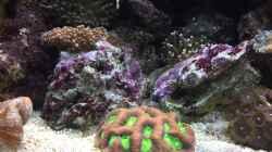 Favites Koralle mit einer Euphyllia glabrescens
