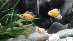 Aulonocara red fire
