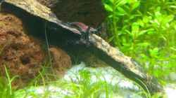 Aquarium Garnelen-Dschungel- let it grow