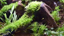 Leptodictyum riparium