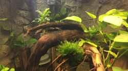 Anubias barteri var. nana, Anubias barteri, Bucephalandra spec. Wavy Leaf, Taxiphyllum