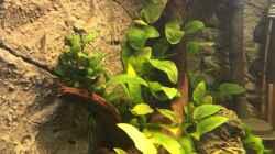 Anubias barteri var. nana und Bucephalandra spec. Wavy Leaf