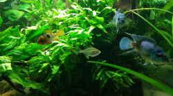 Besatz im Aquarium Blue Dempsey