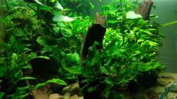 Pflanzen im Aquarium Blue Dempsey