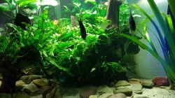 Dekoration im Aquarium Blue Dempsey