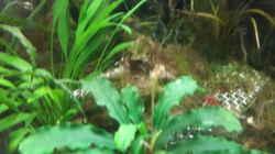 Pflanzen im Aquarium Nano 30