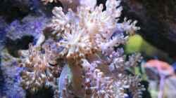 Besatz im Aquarium 80L Nano Riff
