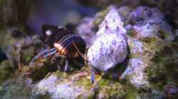 Clibanarius tricolor (x5)