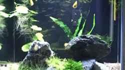 Aquarium Meine Guramis