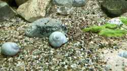 Neolamprologus caudopunctatus Jungtiere Babies