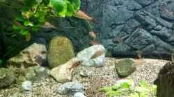 Paracyprichromis nigripinnis und Neolamprologus caudopunctatus