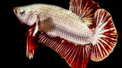 Betta splendens RED DRAGON