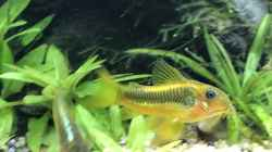 Corydoras golden stripe