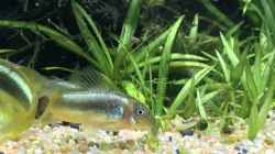 Corydoras green stripe