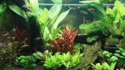 Pflanzen im Aquarium Juwel Rio 240l LED Südamerika