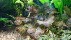 Pflanzen im Aquarium Regenbogenfische
